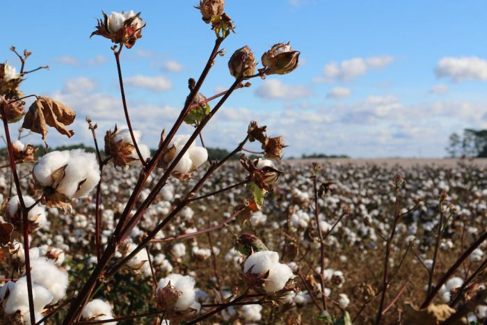 Image of cotton field